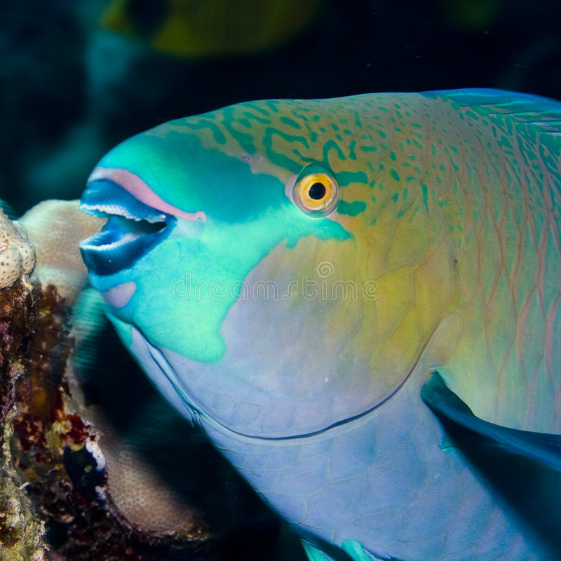 parrotfish arkivbild