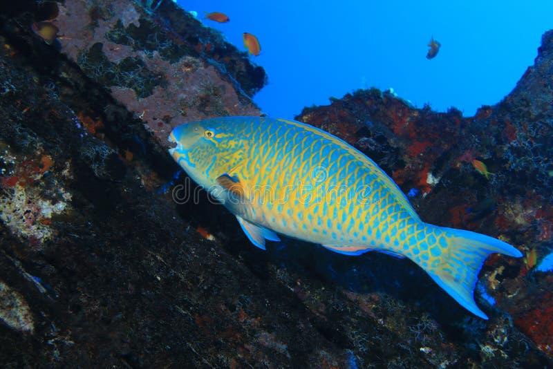 parrotfish Azul-barrado fotos de stock royalty free