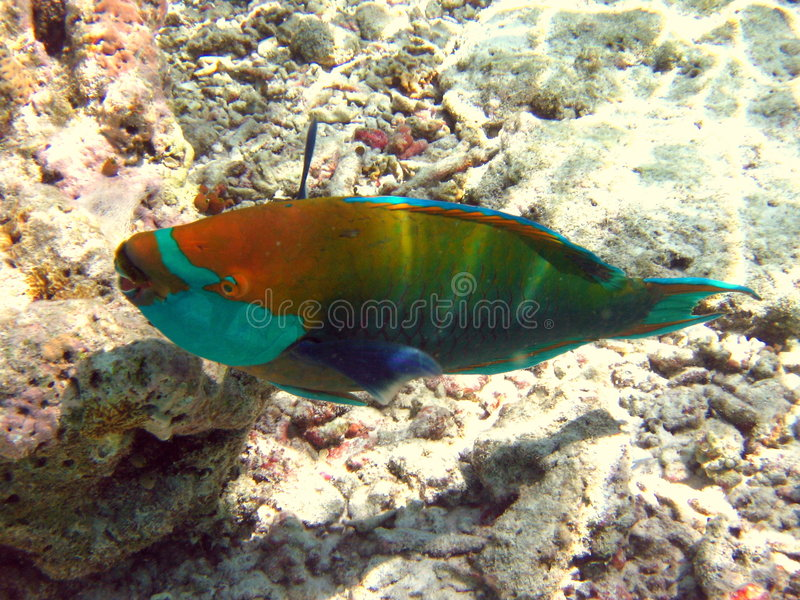 Parrotfish bicolor foto de stock