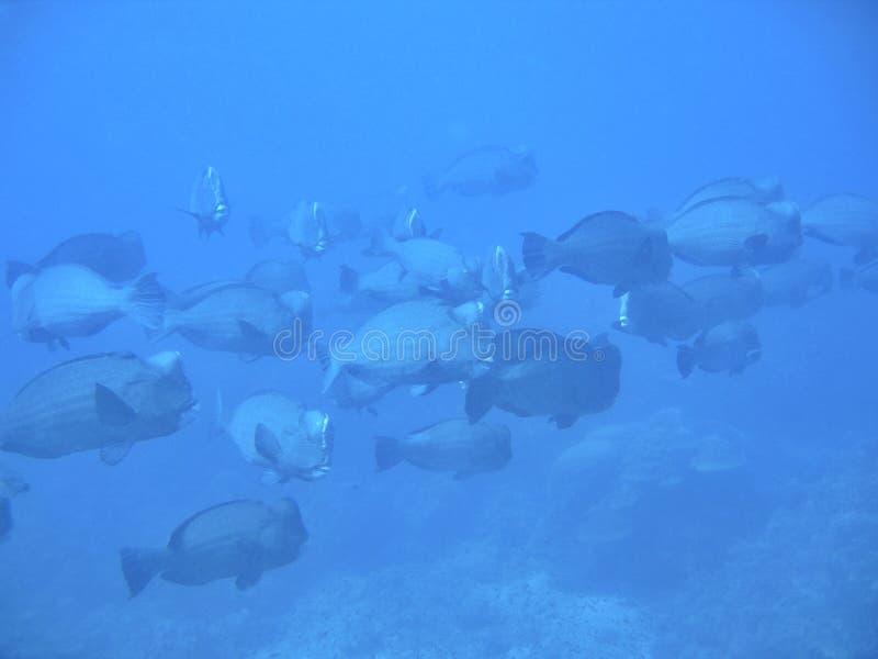 Download Parrotfish De Humphead Junto Imagem de Stock - Imagem de nadada, subaquático: 542665