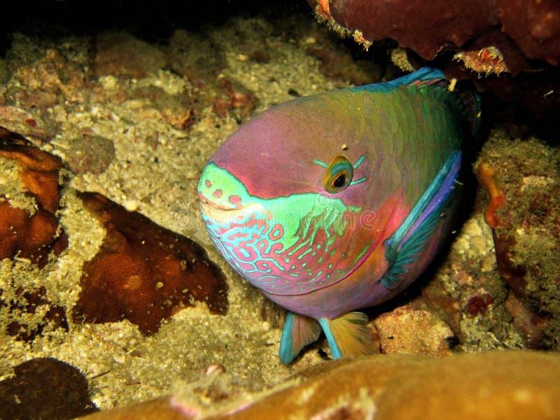 Download Parrotfish do sono foto de stock. Imagem de esconder, coral - 539614