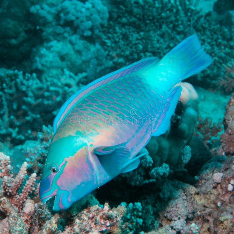 Parrotfish eating coral royalty free stock images