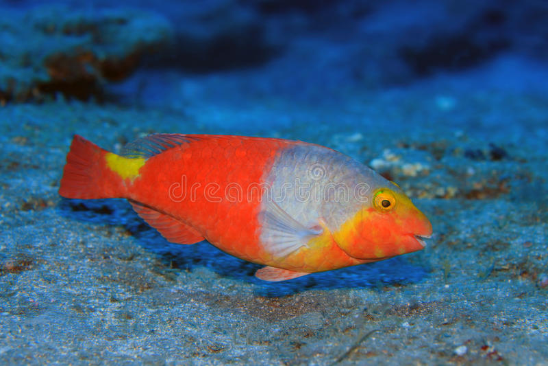 Parrotfish europeu imagem de stock royalty free