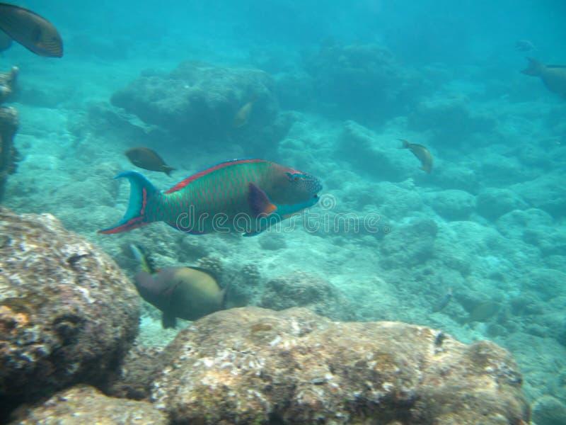 Parrotfish i det indiska havet arkivbilder