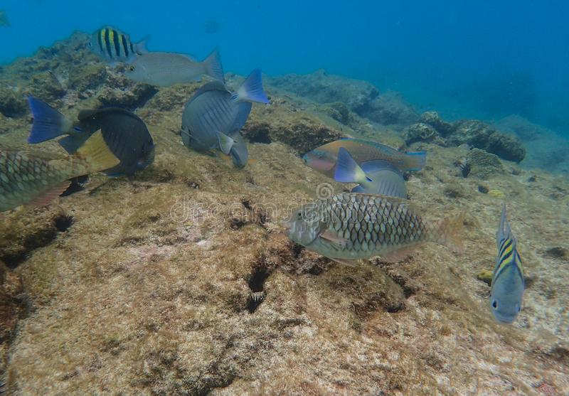 Parrotfish, Ocean Surgeonfish, and Sargeant Major fish royalty free stock images