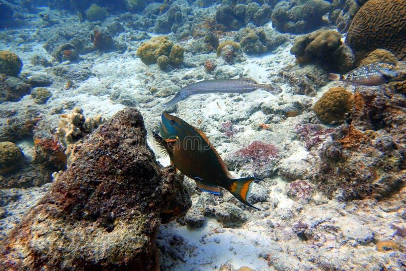 Parrotfish- och Trumpetfishsimning i havet royaltyfria bilder
