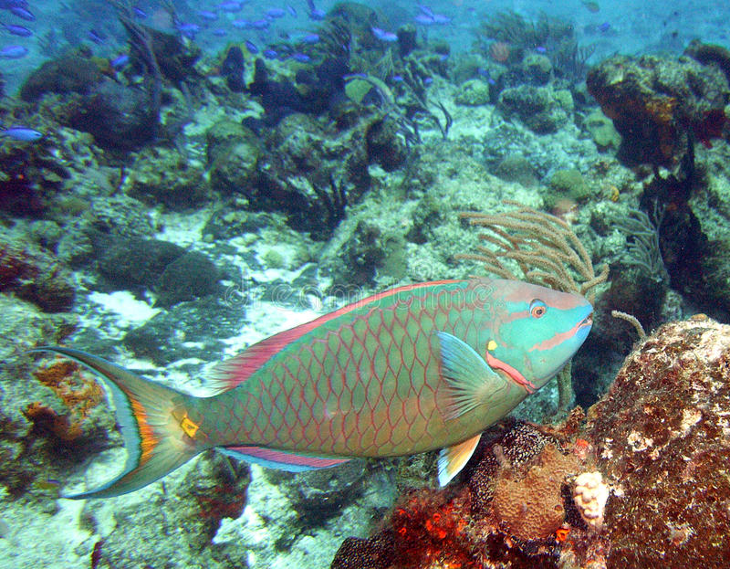 parrotfish stoplight obraz stock
