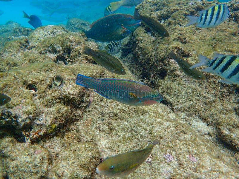 Parrotfishsimning i havet arkivbild