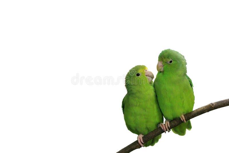 Parrotlets Blu-alato nell'amore isolato con testo fotografia stock