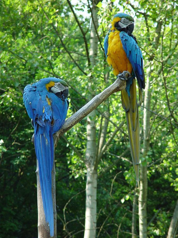 Download Parrots stock image. Image of pair, together, yellow, symbol - 4977