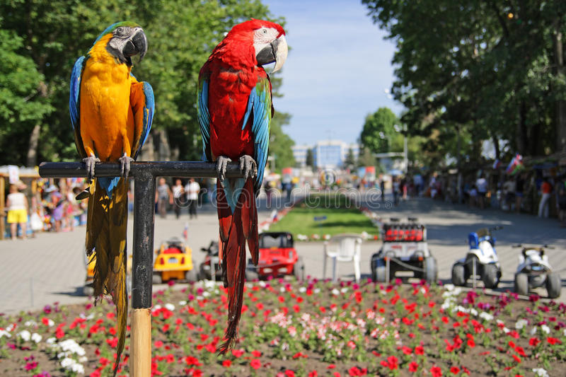 Parrots. Two parrots ara on not in focus a green background stock images
