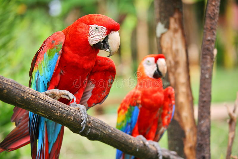 Parrots royalty free stock photography