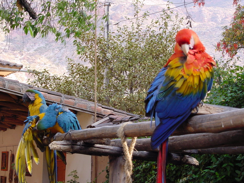 Download Parrots stock image. Image of parrot, south, birds, macaw - 15313