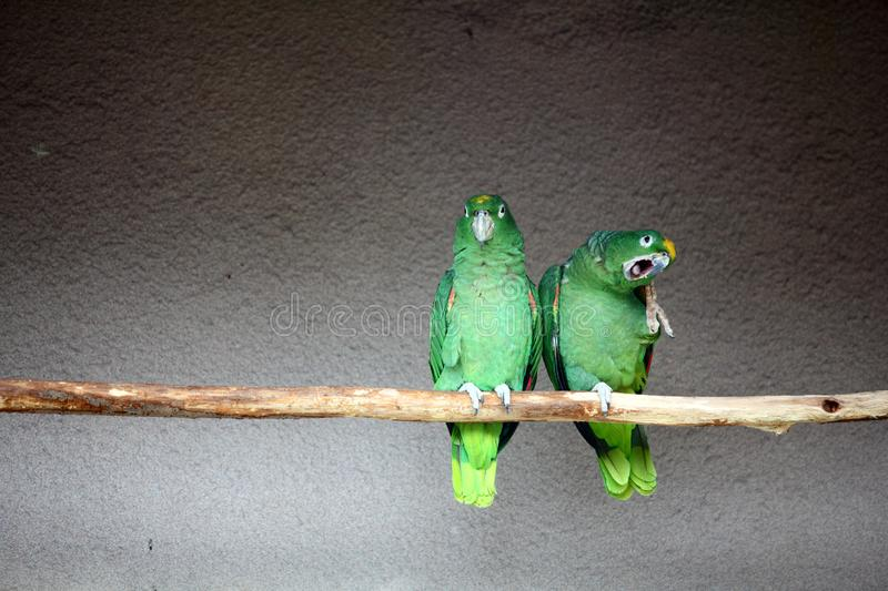 Download Parrots stock photo. Image of cage, bird, wing, parrot - 20164228