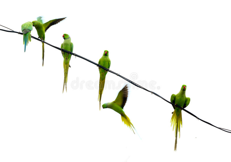 Download Parrots stock image. Image of background, flying, white - 21827097
