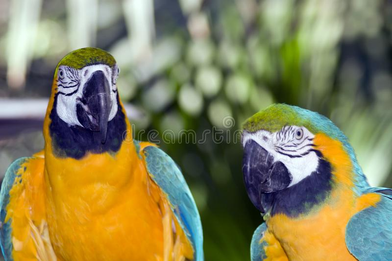 Download Parrots stock image. Image of animal, parot, exotic, gold - 4381275