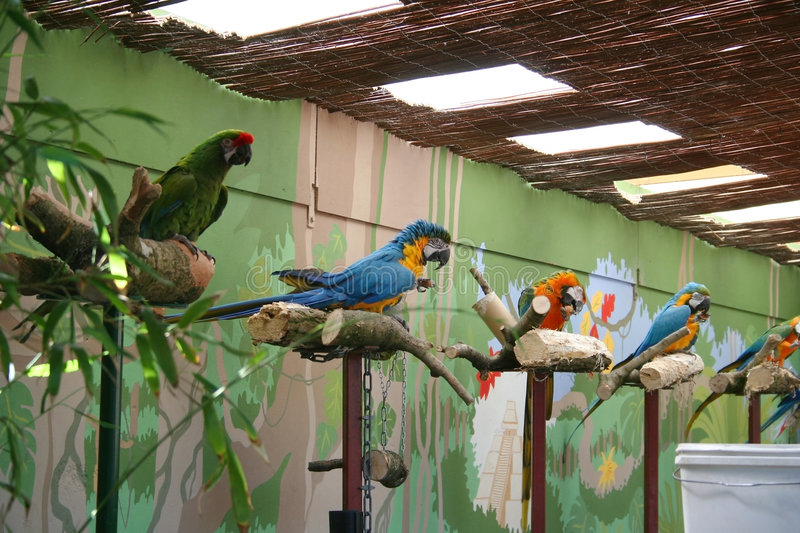 Parrots. Group of performing parrots on their perches royalty free stock images