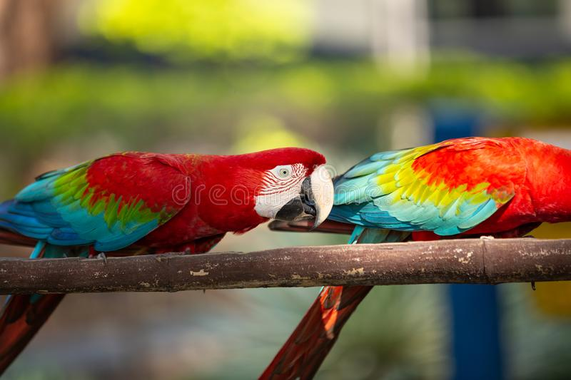 Parrots ara eating food prepared for them in the open air. Parrots eating food prepared for them in the open air stock photos