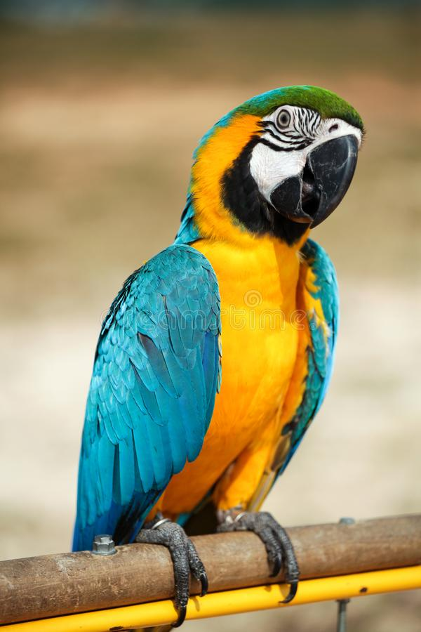 Parrots. A beautiful Blue and yellow macaw Parrots stock photo