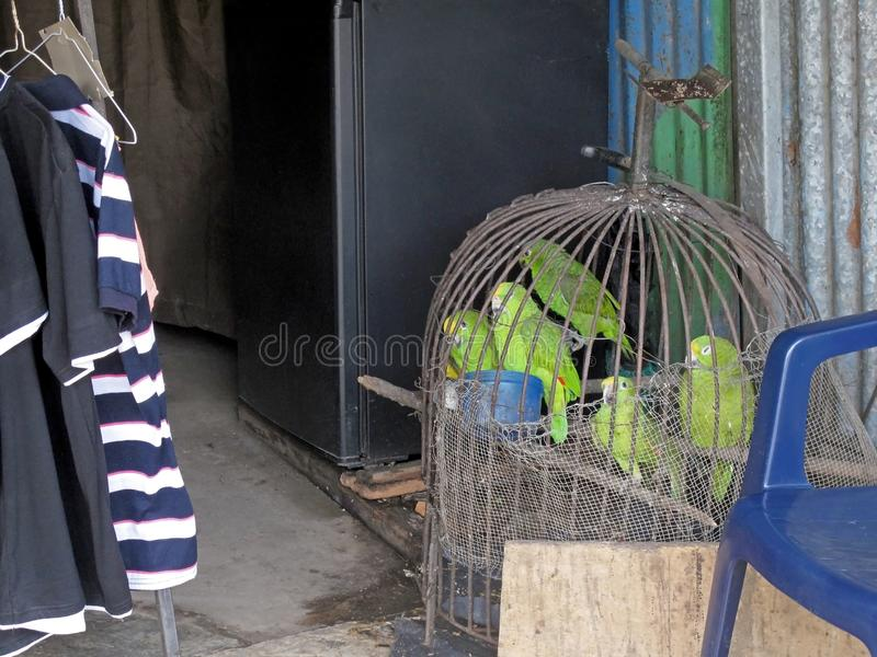 Parrots in captivity, displayed for sale, Costa Rica. Central America royalty free stock images