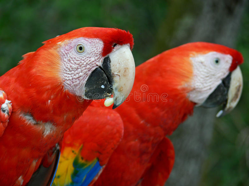 Parrots in Copán Ruinas. Two parrots in the archaeological site of Copán Ruinas Maya, Honduras stock photos
