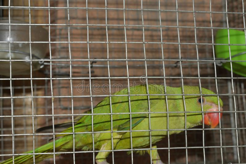 parrots corella is sitting in the cage royalty free stock photos