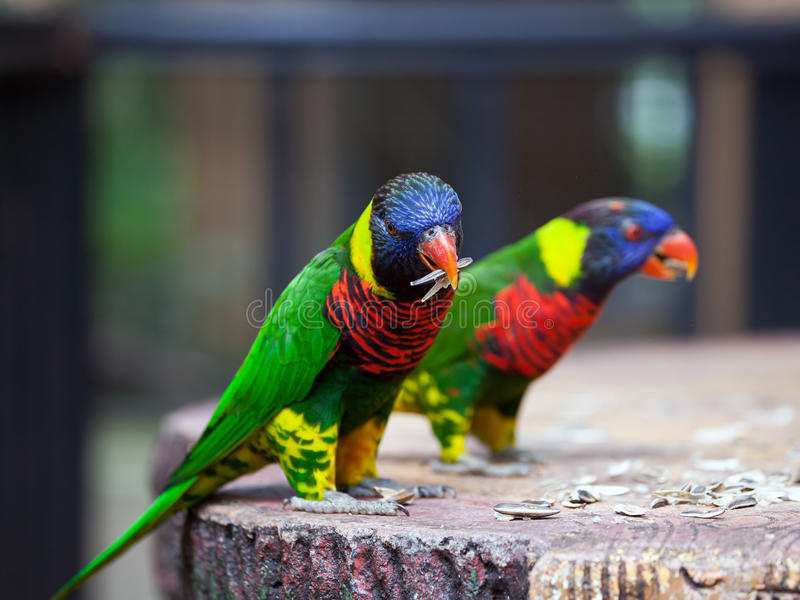 Parrots feeding time royalty free stock photo
