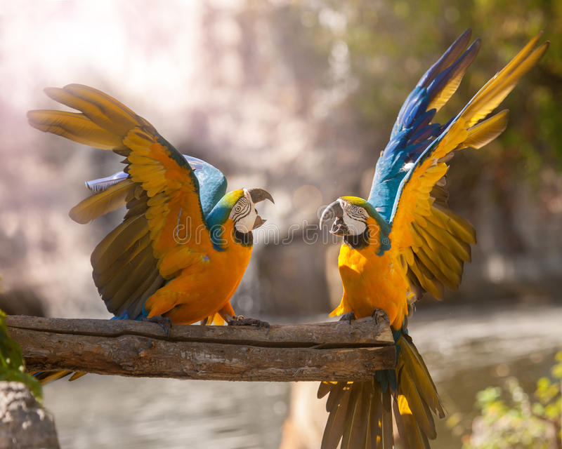 Parrots. Fight with each other