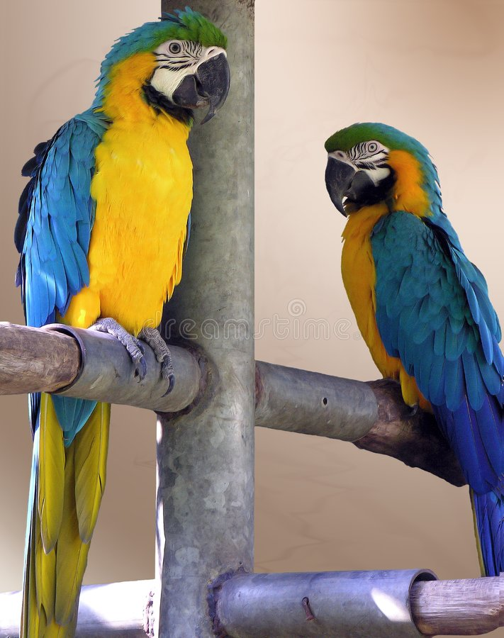 Parrots, incredible colors royalty free stock photos