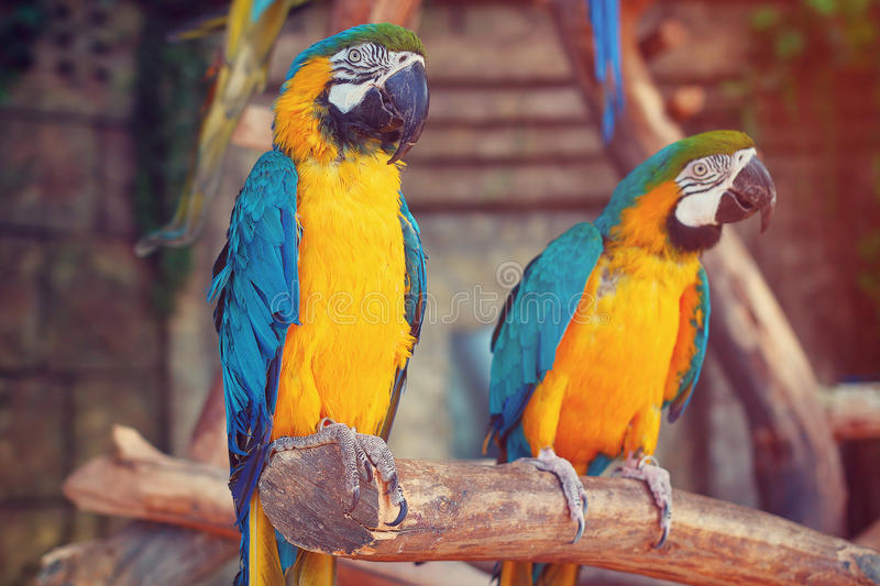 Parrots in the jungle. Blue-and-Yellow Macaw Ara ararauna. Also known as the Blue-and-Gold Macaw. Two birds sit on a tree branch in the jungle stock photo