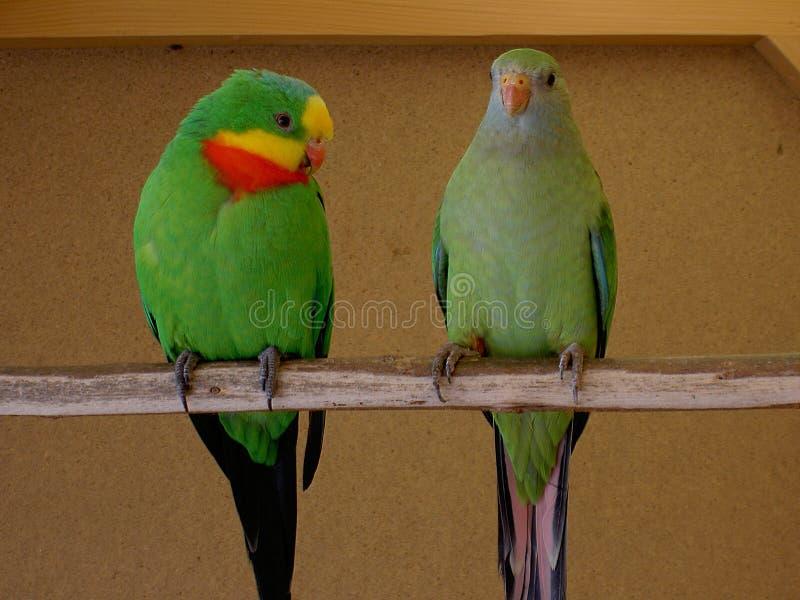 Parrots le mâle superbe une femelle image libre de droits
