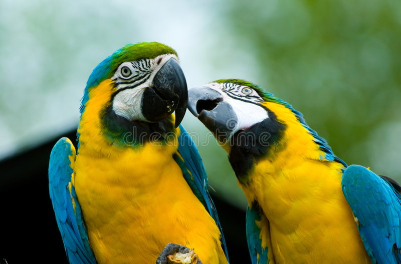 Parrots in love royalty free stock photos