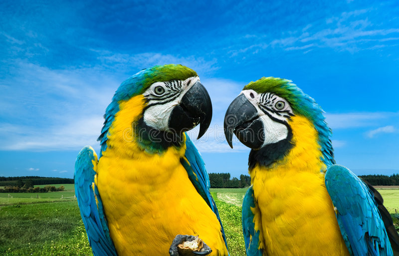 Parrots in love. Close-up of a beautiful blue-and-yellow macaw's in love (Ara ararauna