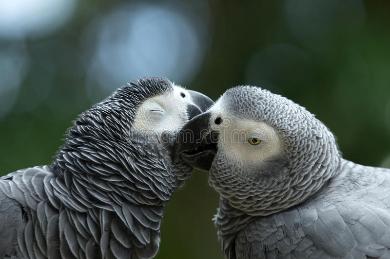 Parrots. Pair of colorful Macaws parrots royalty free stock images