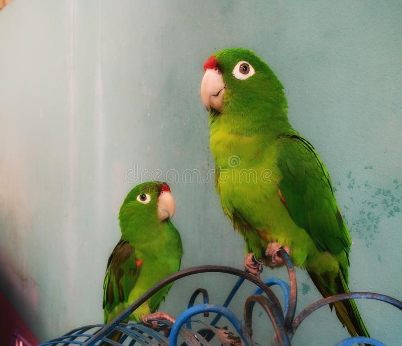 Parrots. Pair of parrots, originating in the jungles of Central America royalty free stock photos