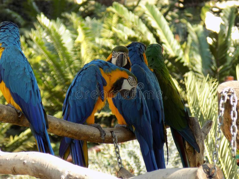Parrots on a perch royalty free stock image