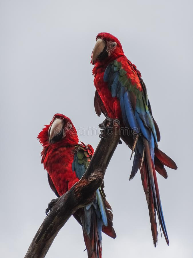 Parrots scarlet macaw ara macao in panama. On a tree royalty free stock photography