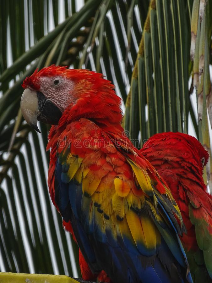 Parrots scarlet macaw ara macao in panama. On a tree stock photography