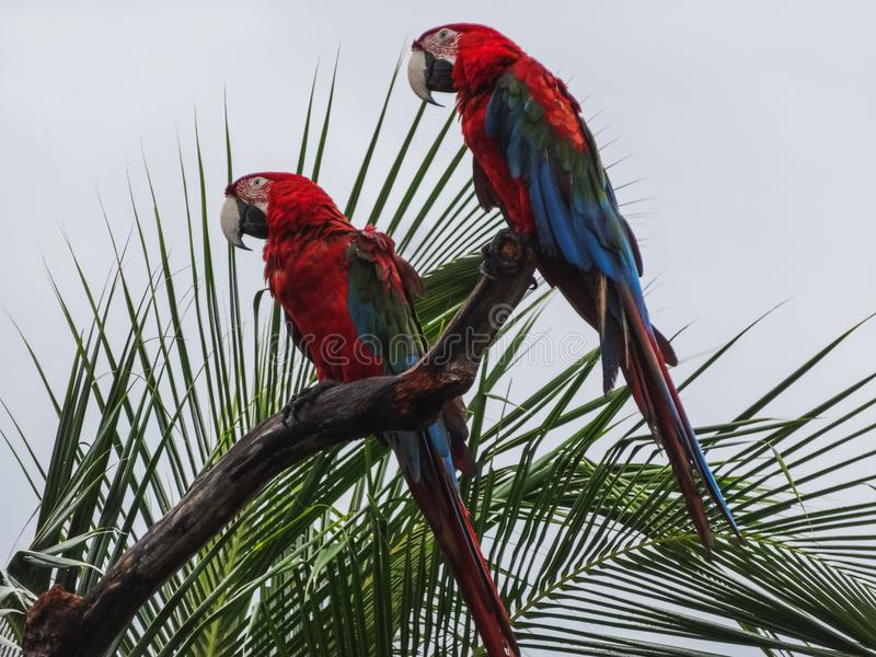 Parrots scarlet macaw ara macao in panama. On a tree royalty free stock images