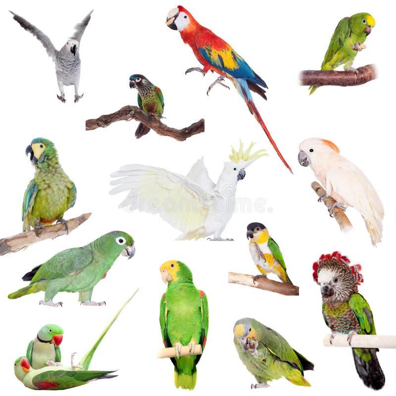 Parrots set on white. Parrots set isolated on white background royalty free stock image