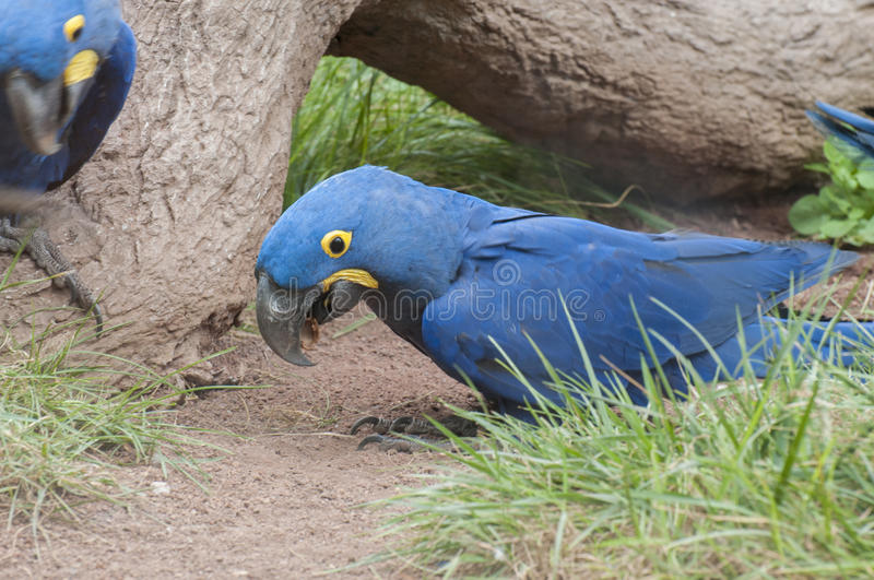 Parrots in their jungle. Habitat surrounded royalty free stock photos