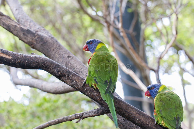 Parrots in their jungle. Habitat surrounded royalty free stock image