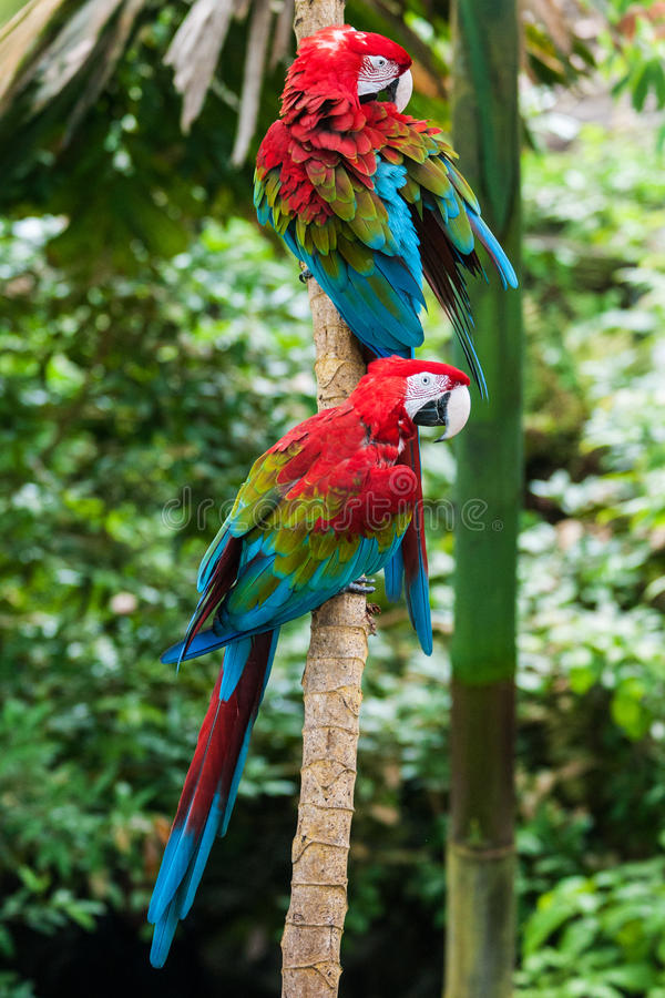 Parrots in their natural habitat, the jungle. Two red macaw parrots in their natural habitat, the green jungle royalty free stock photography