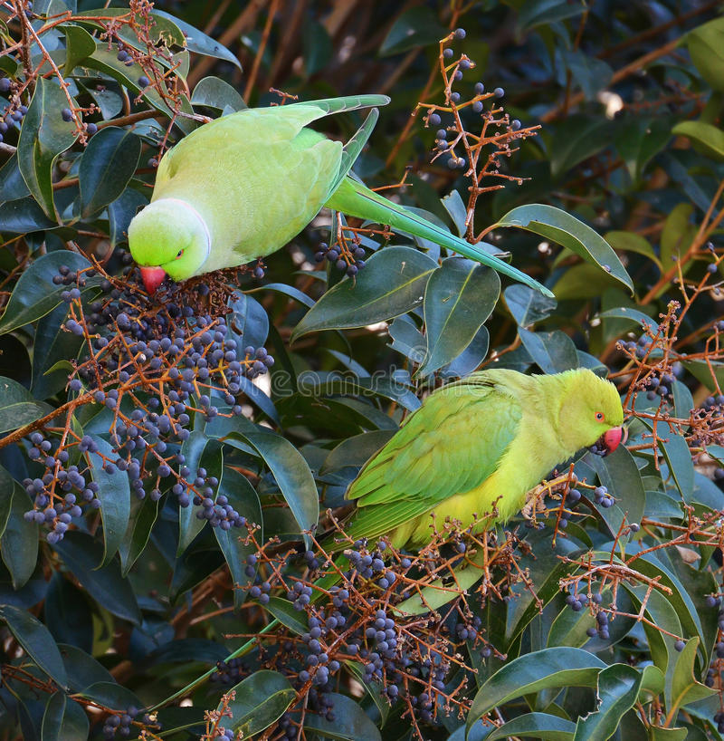 Parrots in the tropical forest. Exotic parrots eating fruits on the tree in the jungle royalty free stock photography
