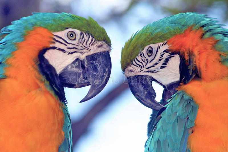 Parrots twin brothers stock photo