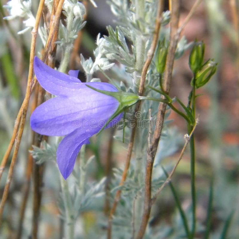 Parry`s Bluebell with Mountain Wormwood stock image