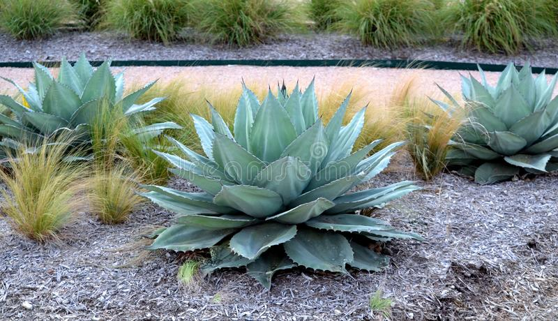 Parryi dell'agave fotografie stock