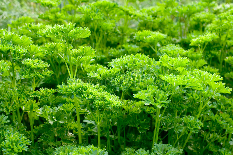 Download Parsley stock image. Image of leaves, fresh, garden, spice - 1014631