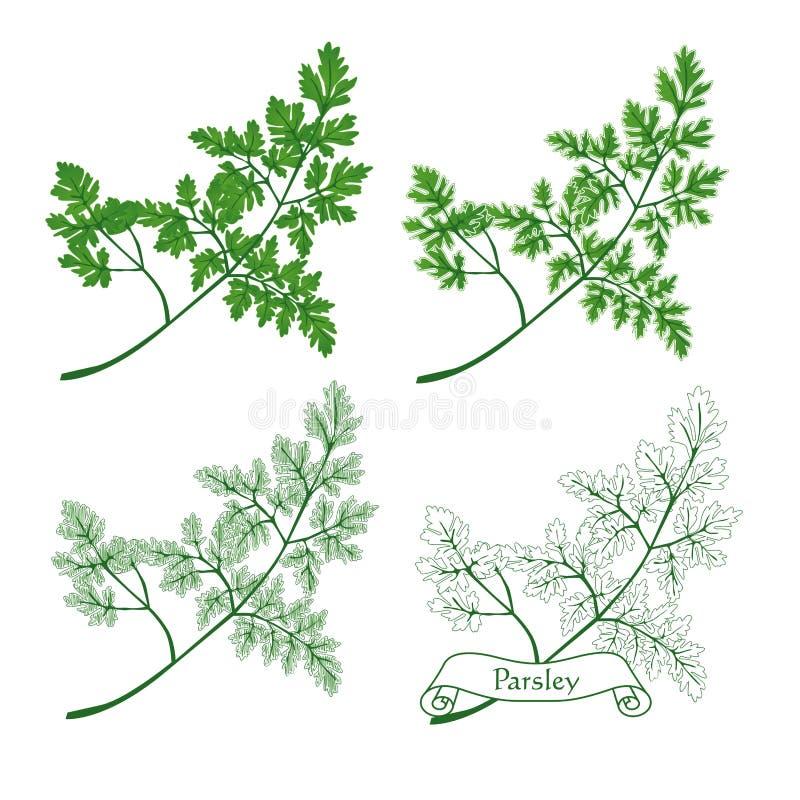 Download Parsley stock illustration. Image of single, flora, plant - 12535485