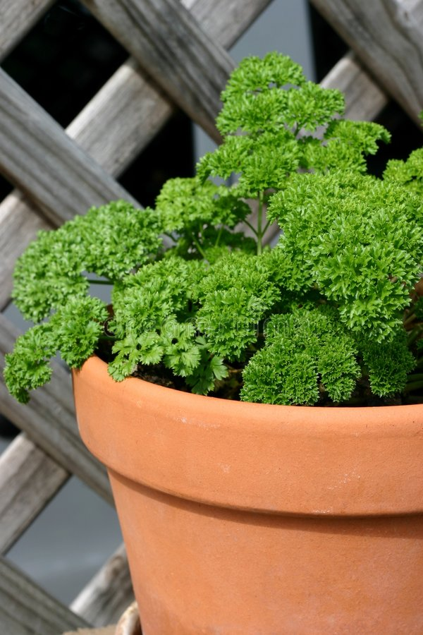 Download Parsley Stock Photos - Image: 1409963